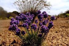 Purple Tassel Lily   (Sowerbaea laxiflora) 10 Fresh Seeds