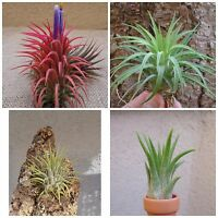 SALE Tillandsia Ionantha Assorted 3 Pack FREE SHIPPING