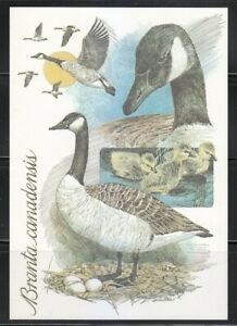 Canada superb mint 1st class Postcard The Canada goose (Branta canadensis) Duck