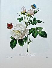 Pierre-Joseph Redoute White Bengal Rose and Single Moss Rose 13x10
