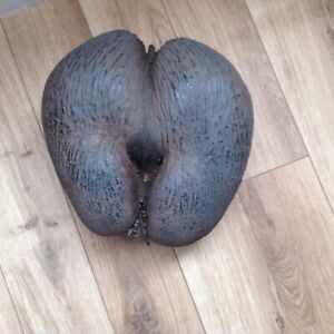 Original Coco de mer seed - Antique - 107-109 years old -intact with seed pods