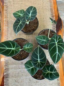 """Alocasia reginula 'Black Velvet' - Rare Houseplant - Velvet Leaves 4""""POT"""