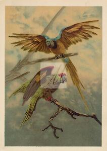ANTIQUE Birds Artwork - Parrots - Original 1900s Print - Unknown Artist #D634