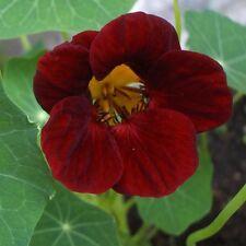 25 Graines de CAPUCINE Velouté Profond Rouge Noir / Fleurs Comestibles