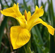 Live Louisiana Yellow Flag Iris Aquatic Plant Rhizome
