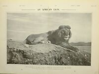 1903 PRINT AFRICAN LION by EMIL FRECHON