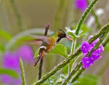 METAL REFRIGERATOR MAGNET Black Crested Coquette Hummingbird Costa Rica Bird