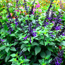 More details for salvia amistad sage tall upright scented perennial purple flowering potted plant