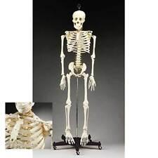Anatomical Chart Company Budget Bucky Skeleton Stand