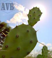 Opuntia Quimilo ✿ 1 Pad ✿ Dangerous Spines Rare Bolivia Argentina Cartoon Cactus