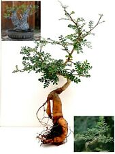 Operculicarya Decaryi Bonsai - The most beautiful tree in the world