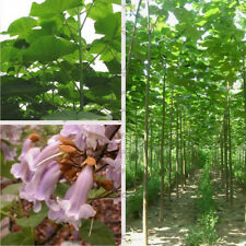 1000 pcs paulownia elongata paulownia seeds New forest fast growing tree