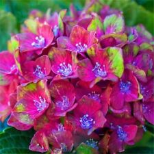 50PCS Hydrangea Macrophylla Magical Collection Seeds Bonsai Potted Home Garden