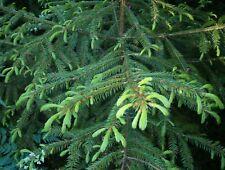 Korean Spruce (Picea koraiensis) 50 seeds
