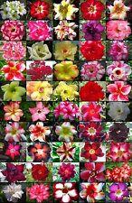 """Adenium Obesum Desert Rose """"separate and label"""" 1,050 Seeds 50 Types!"""