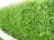 10 Austree Hybrid Willow Outdoor Trees Live Plant Fast Growing Tree Garden Yard