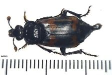Coleoptera Silphidae Nicrophorus basalis Russia, Ussuri region