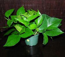 "Jade Green Pothos 6"" Pots Easy Tropical Vining House Plant SUPER LARGE & FULL"