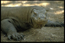 446016 Komodo Dragon Komodo Parque Nacional A4 Foto Impresión