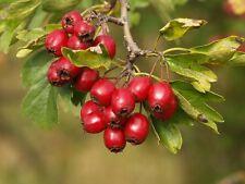 Hawthorn ''Crataegus Monogyna'' Tree 10-Fresh Seeds* *UK Seller*Medicinal Tea