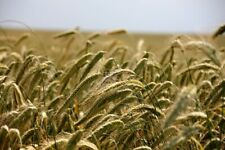 100G/200G Seeds Fertilizer Green Winter Rye Fixatrice Nitrogen Secale Cereal