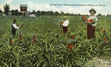 Farm Workers Migrants Gathering Pineapple Crop Florida 1913 Teich Postcard