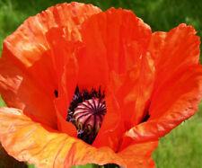 100+ Seeds Oriental Poppy Orange - Scarlet color perennial wildflower Overstock