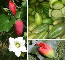 100 seeds ,IVY GOURD, Coccinia grandis, Coccinia indica, ตำลึง Easy to grow