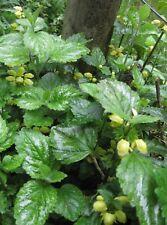 3 x Golden Dead Nettle (Lamium galeobdolonin) BARE ROOT plant