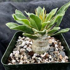 Pachypodium namaquanum, succulent
