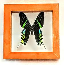 REAL MOTH, URANIA LEILUS, GREEN-BANDED URANIA IN DOUBLE-GLASS WOOD FRAME, PERU