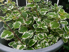 Plectranthus madagascariensis Plant : Variegated Scented Leaves Insect Repellent