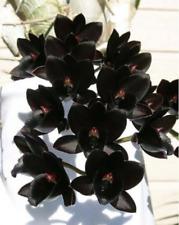 "FDK. after dark ""Black Pearl"" FCC/AOS CATASETUM Big Bloom taille parfumé"