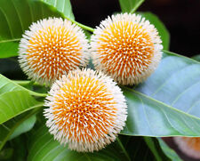 das Nadelkissenbaum hat wunderschöne, interessante Früchte !