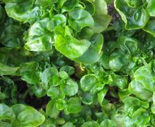 New listing Brazilian Spinach - Alternanthera sissoo Plant