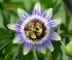 Passiflora caerulea, Passionsblume, Ranker, essbare Früchte, winterhart, 5 Samen