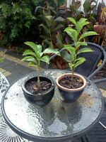 African Baobab Seeds Bulk Order Adansonia digitata 200 seeds