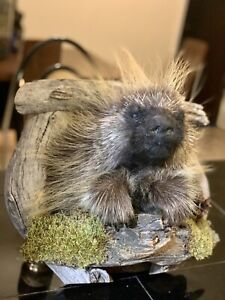 NEW! porcupine taxidermy shoulder Wall mount