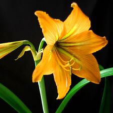 2x White Yellow Sunrise Amaryllis Bulbs Hippeastrum Bulbs Home Garden Decor