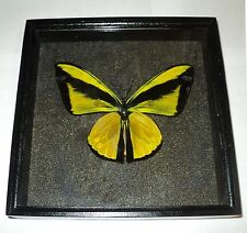 Real Insect: Ornithoptera goliath samson male in frame made of expensive wood...