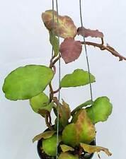 Hoya waymaniae borneo [B29J1],1 pot rooted plant10-12 inchesUnique!