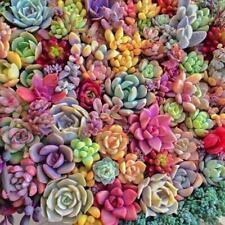 100Pcs Echt Mini Sukkulente Kaktus Samen Seltene Staudenkräuterpflanzen Bonsai