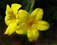 20 Seeds | Yellow Carolina Jasmine Vine | Gelsemium sempervirens | Perennial