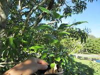 "~ 20"" TALL Arabica Coffee BeanTropical Flower Fruit Tree Plant"