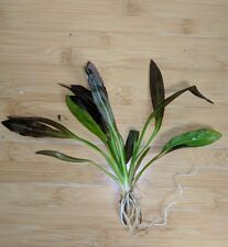 Live Red Rubin Aquarium Plant - Easy to Grow, Val, Java, Marimo, Sword, Amazon