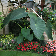 8 LIVE BULBS Colocasia gigantea Thailand Giant Thai Giant Elephant Ear Huge Leaf