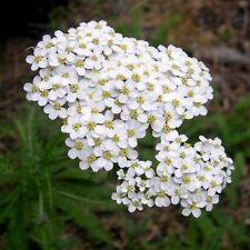 500 graines d' Achilée Blanche(Achillea Millefolium)X465 SEED SEMI SEMILLA