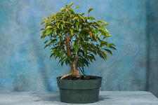 Vigorous FICUS PHILIPINENSIS Pre-Bonsai Tree! Great for Banyan Style!