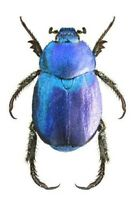 Hoplia coerulea ONE REAL BLUE SCARAB BEETLE FRANCE