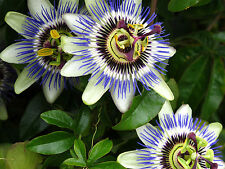 Passion Flower Seeds - BLUE - Tropical Climbing Vine - House Plant - 10 Seeds